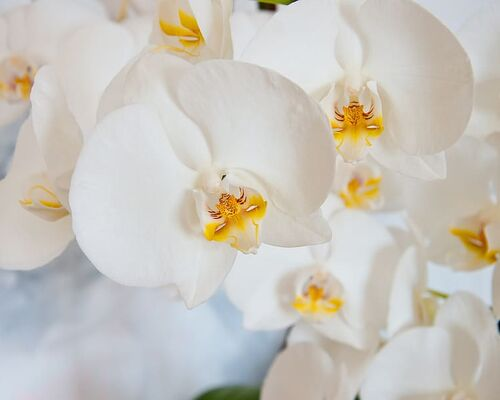 orchid-phalaenopsis-white-blossom